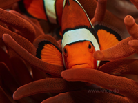 Amphiprion percula in Wirtsanemone Entacmaea quadricolor